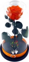 Trandafir Criogenat mare portocaliu pe pat de muchi in cupola de sticla mare cu baza neagra
