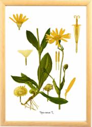 Arnica Tablou desen botanic clasic planta medicinala ilustratie vintage Tablouri