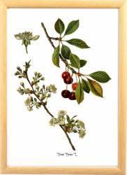 Cires Tablou desen botanic ilustratie cu flori si fructe Tablouri