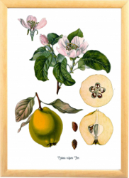 Gutuie Tablou desen botanic clasic ilustratie vintage cu fructe de toamna Tablouri