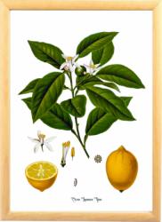 Lamaie Tablou desen botanic clasic ilustratie vintage Tablouri