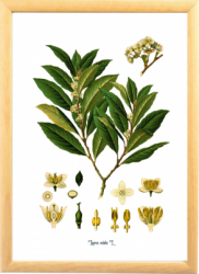 Laur Dafin Tablou desen botanic clasic Tablouri