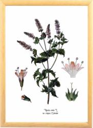 Menta Tablou desen botanic vintage Tablouri