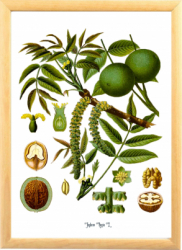 Nuca Tablou desen botanic clasic ilustratie vintage Tablouri