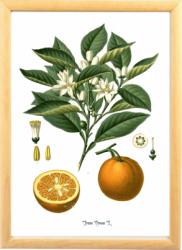 Portocala Tablou desen botanic clasic ilustratie vintage Tablouri