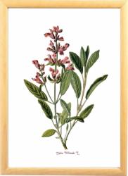 Salvia Tablou desen botanic ilustratie cu plante aromatice Tablouri