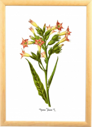 Tabac Tablou ilustratie botanica desen vintage Tablouri