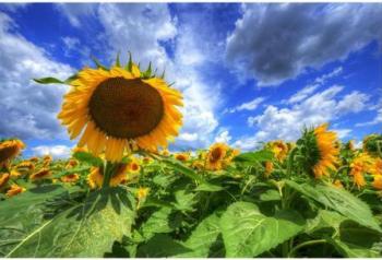Tablou forex Plantatie floarea soarelui color 90 x 60 cm Tablouri