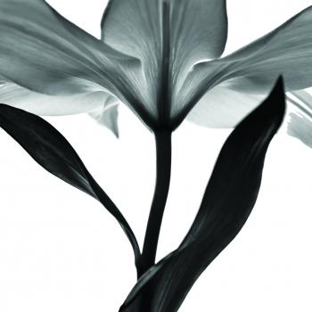Tablou forex Monochrome lily 50x50 cm Tablouri