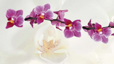 Panou bucatarie decorativ protectie plita model Orhidee Alba si Mov 600x500 mm