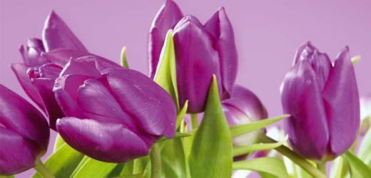 Panou bucatarie protectie plita aragaz antistropire print UV model Lalea Violet 600x500 mm