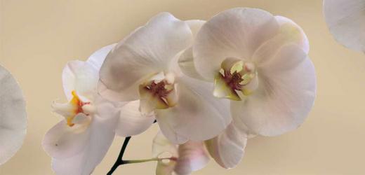 Panou bucatarie protectie plita aragaz antistropire print UV model Orhidee 3 600x500 mm
