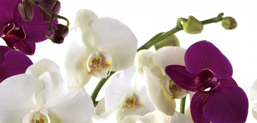 Panou bucatarie protectie plita aragaz antistropire print UV model Orhidee 600x500 mm