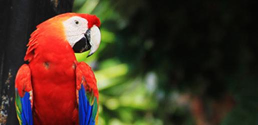 Panou bucatarie protectie plita aragaz antistropire print UV model Papagal Macaw Rosu 600x500 mm Placi decorative