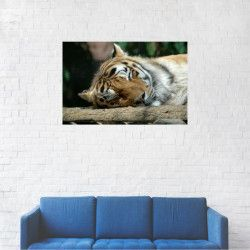 Tablou Canvas Tigru siberian dormind 60 x 90 cm Tablouri