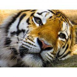 Tablou Canvas Tigrul lenes 40 x 50 cm Tablouri