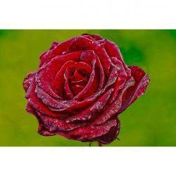 Tablou Canvas Trandafir rosu 60 x 45 cm Rama lemn Multicolor Tablouri