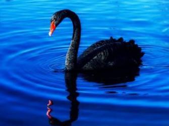 Tablou Canvas Black Swan 80 x 60 cm Rama lemn Multicolor Tablouri