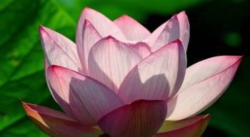 Tablou Canvas Lotus Flower 95 x 65 cm Tablouri