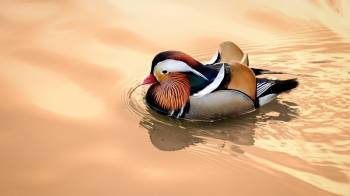 Tablou Canvas Mandarin Duck 70 x 50 cm Tablouri