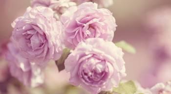 Tablou Canvas Pink Roses Vintage 95 x 65 cm Tablouri